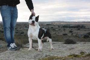 Venta American Staffordshire Terrier