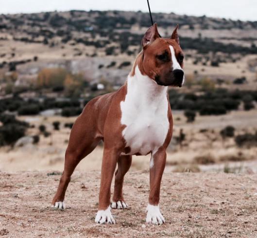 Alea Jacta Est Kennel - American Staffordshire Terrier